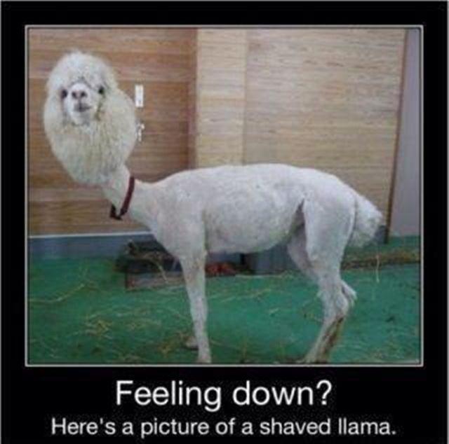Best 25 Baby Llama Ideas On Pinterest: 25+ Best Ideas About Shaved Llama On Pinterest