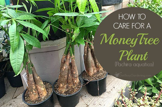Money Plant Care Guide: How To Take Care Of A Money Tree Plant – Green Thumb