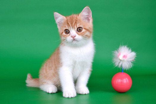 Продажа котят Питомник британских кошек LansFort Уфа. Продажа котят, котята в уфе, котята в уфе, британские кошки, британские котята, британская порода кошек.