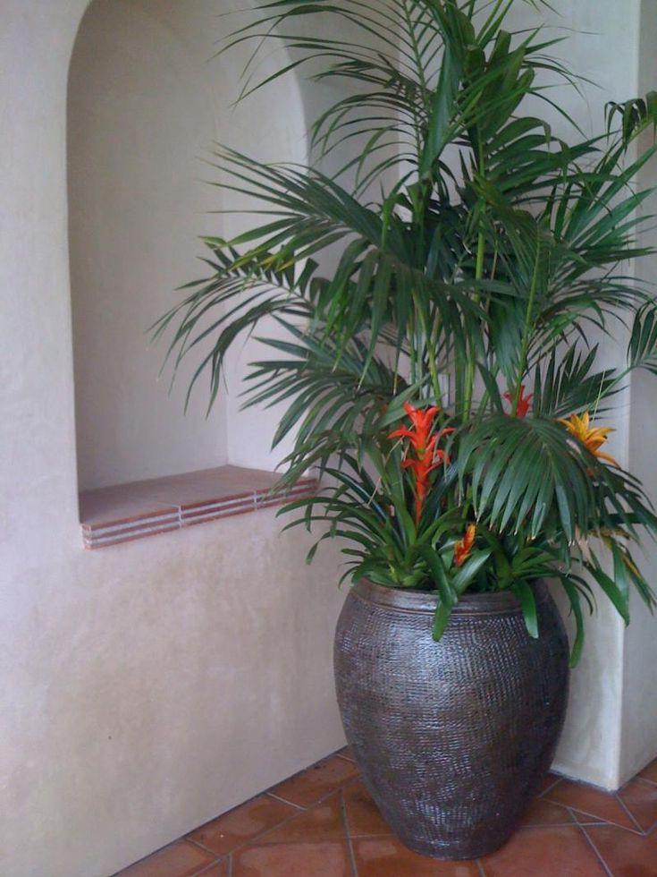 Kentia Multi 15 Gal Palm Trees Encased With A Slight