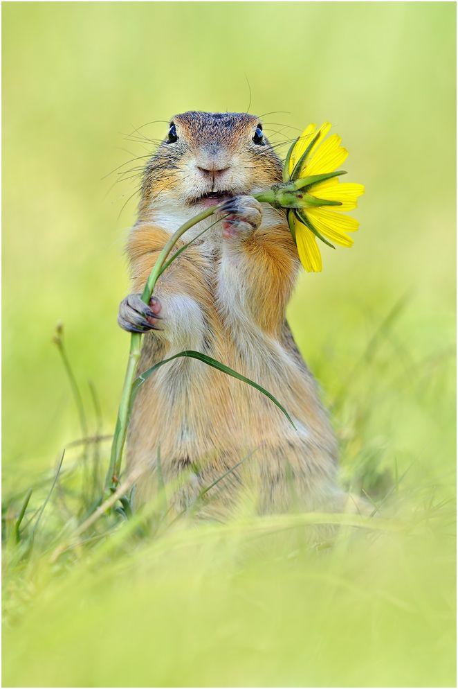 ~ Ziesel ~ - Bild & Foto von Angela Di M. aus Tiere - Fotografie (30194357) | fotocommunity