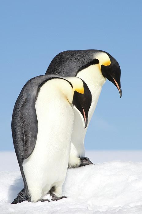 """Emperor Penguins (aptenodytes Forsteri), Side View"" by Daisy Gilardini on fineartamerica.com"