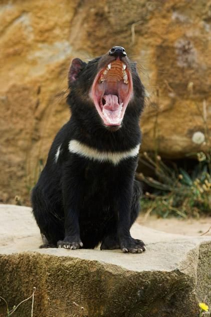 The Tasmanian Devil is the largest carnivorous marsupial in the world (Males weigh about 18lbs.) and is the iconic symbol of Tasmania. It was declared an endangered species by the Tasmanian government in 2008 due to the rapid decline in its numbers since the 90's from a nonviral, but transmissable facial cancer. smithsonianmag.com #Tasmanian_Devil #Tasmania #smithsonianmag
