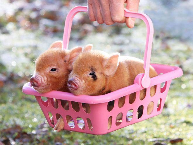 baby Piggies!!! Wilbur and Babe I shall call them