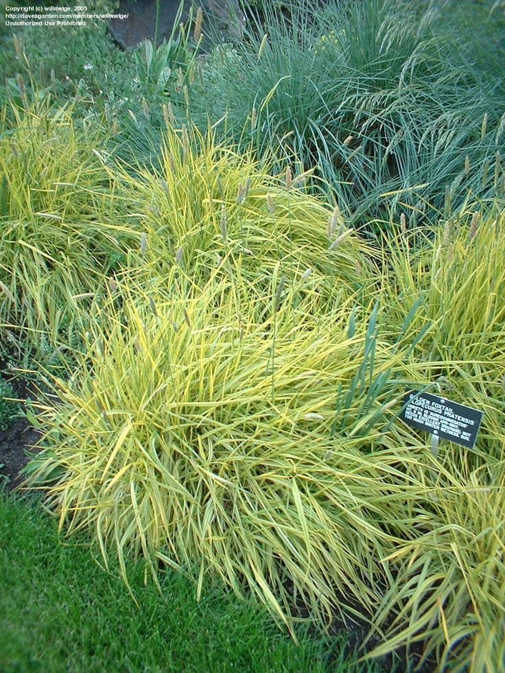 yellow foxtail