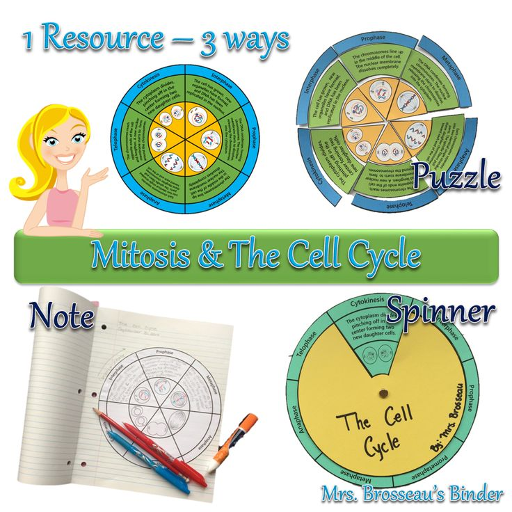 Teaching the Cell Cycle and Mitosis? This resource can be used three ways: as a spinner, puzzle and as a note! A great way to review cell division! 10 versions included for both general sciences and advanced Biology courses. Check it out!