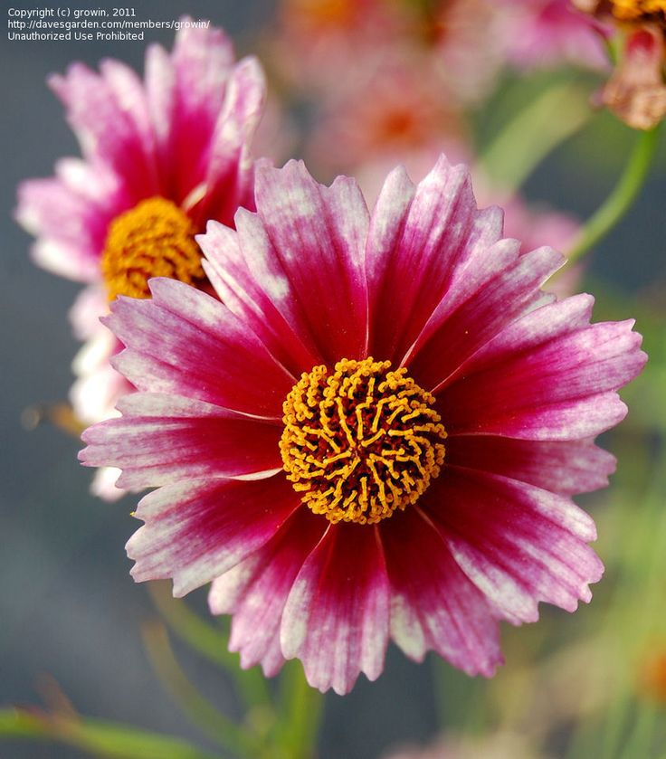 daily bloom for september 22 threadleaf coreopsis iceu0027 photo - Threadleaf Coreopsis