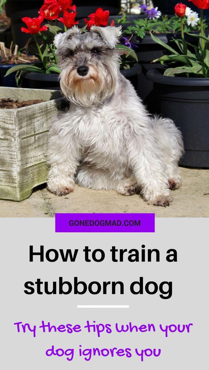 How To Train A Stubborn Dog Try These Tips When Your Dog Ignores
