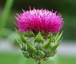 It is suggested that milk thistle seed protects liver cells from toxic chemicals and drugs. It also  has antioxidant and anti-inflammatory. Milk Thistle Extract is a main ingredient to the hangover protection shot #PartyArmor.
