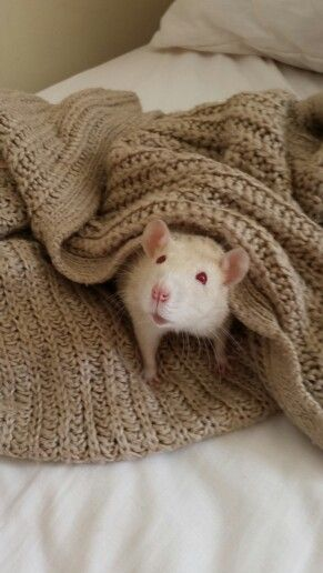 Sidney the albino #rat PEW or Pink Eyed Rats are actually not truly albino, it is a common misconception that these ratties are albino and it is actually quite rare to have a true albino rat.