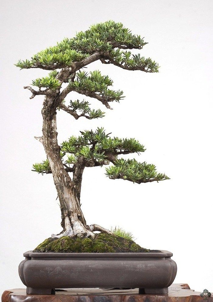 Podocarpus by Robert Steven