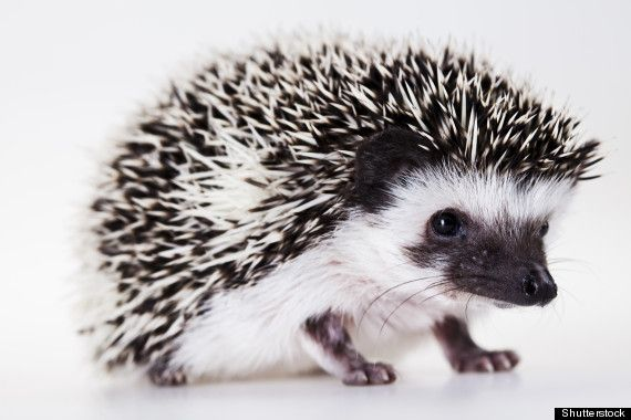 I love these kind of hedgehogs!! I think there called salt and pepper hedgehogs!!