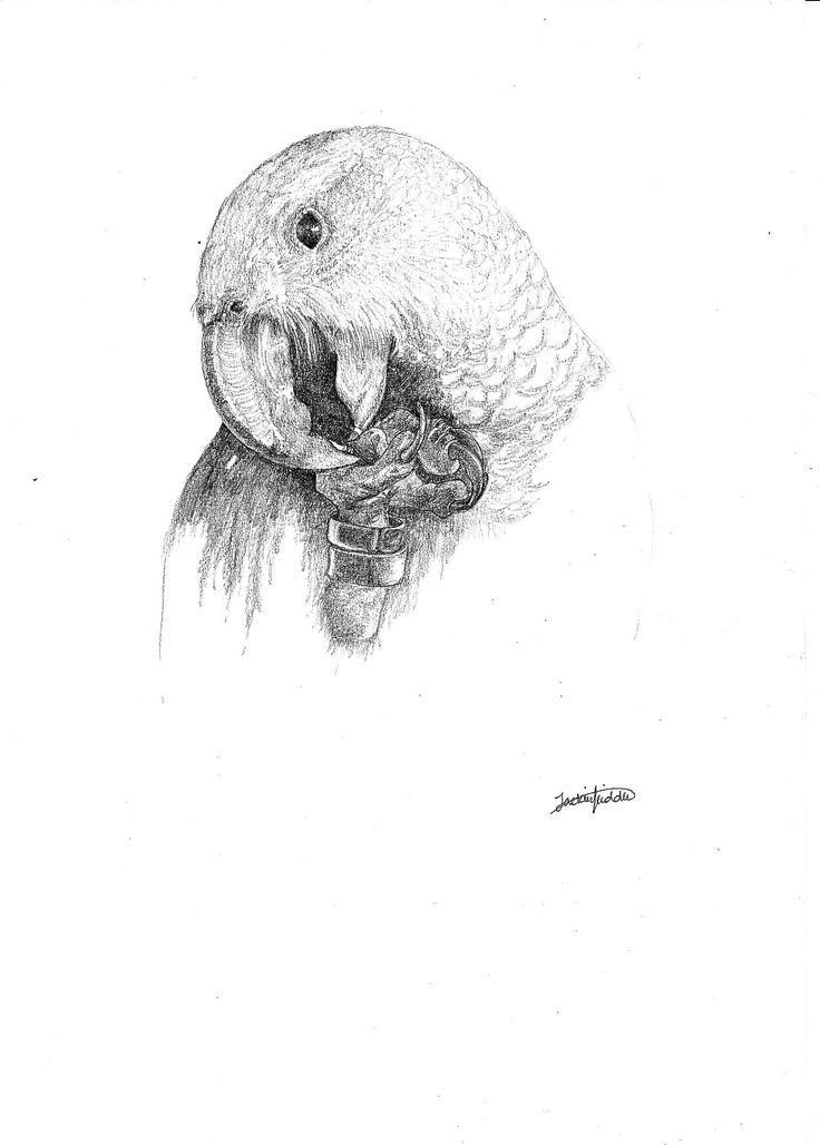 Kaka $25 Print, art, drawing ww.petsbypencil.co.nz