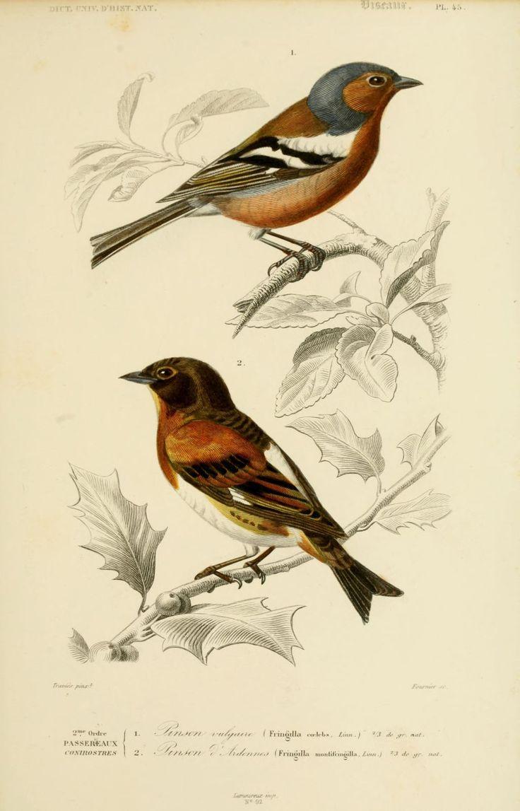 gravures couleur d'oiseaux - Gravure oiseau 0213 pinson d ardennes - fringilla…
