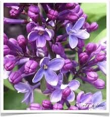 Lilac Bush Cuttings, Pink, Syringa , Heirloom, Perennial Plant, Purple Flower in  Spring, Fragrant B – Products