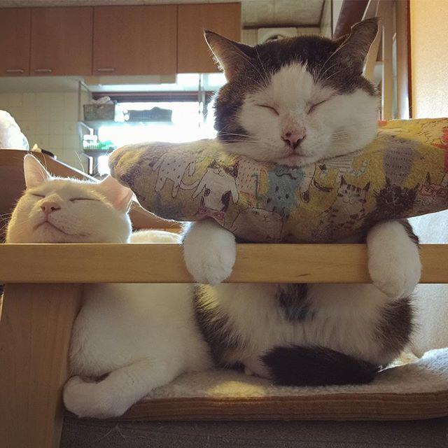 naomiuno この2人見とると眠くなる…。 あかん!のんびりしとるヒマない。 今日は2人に釣られちゃ〜ダメや! お母はんは、忙しい忙しい。 #八おこめ #ねこ部 #cat #ねこ #お昼寝 2017/01/24 13:18:01