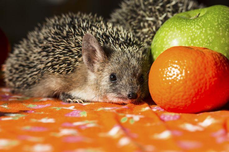 African hedgehog or steppe - African hedgehog or steppe