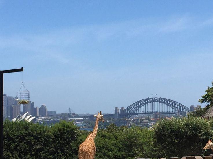 Toronga Zoo, best Zoo giraffe enclosure in the world?? 🇦🇺✅