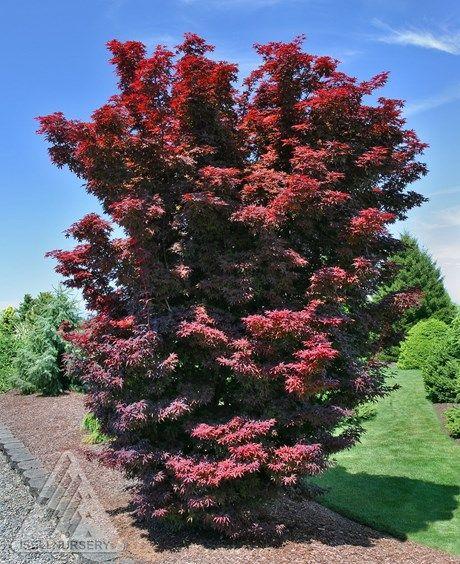 229 best images about jardin autour de l 39 arbre on - Erable du japon vert ...