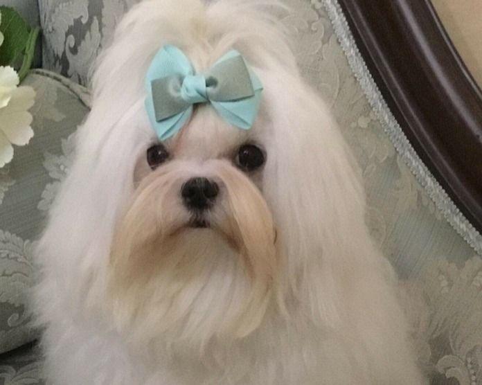 Roma Maltese Coreano Accoppiamento Maltese Roma Vai All Annuncio Maltese Dogs Maltese Maltese Puppy