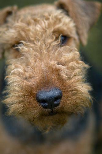 Terrier love