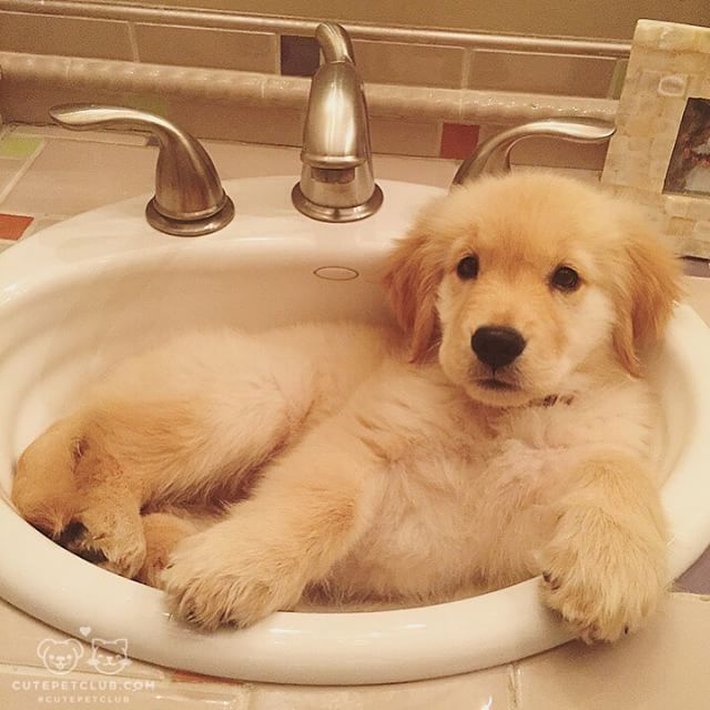"""From @Life_as_lila: """"Hey mom I'm just uh ya know... Hangin' in the sink"""" #cutepetclub"""