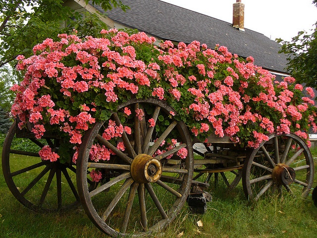 Old wagon covered in geraniums or any flower
