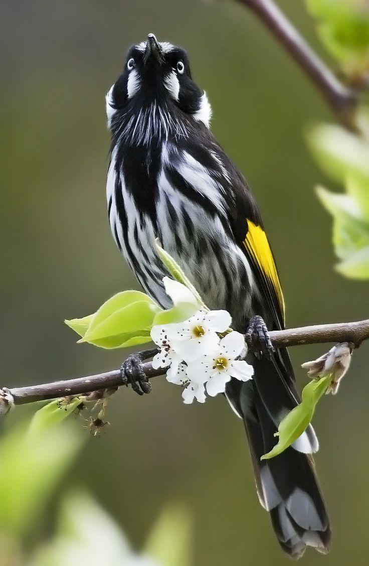 58 best tasmanian birds images on pinterest tasmania australian