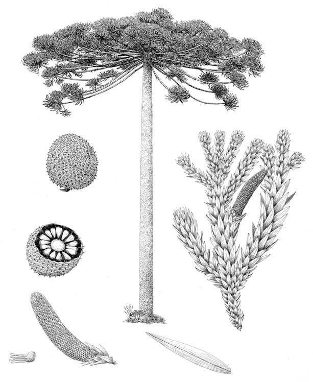 Parana Pine, Araucaria_angustifolia, drawn by Aljos Farjon. On the gymnosperm database.