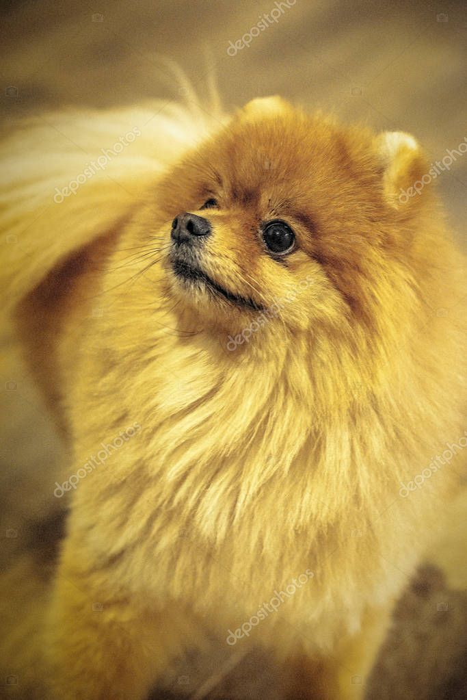 Curious Red Pomeranian Puppy Yellow Background Stock Photo Affiliate Pomeranian Puppy Curious Red Ad Pomeranian Puppy Puppies Yellow Background