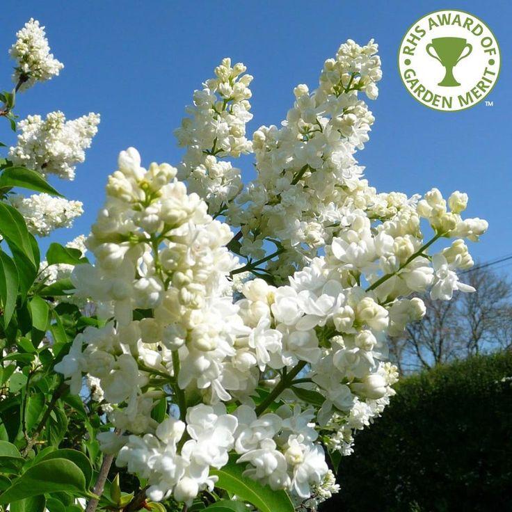 Syringa Vulgaris Madame Lemoine Tree Syringa Vulgaris Lilac Tree White Lilac Tree