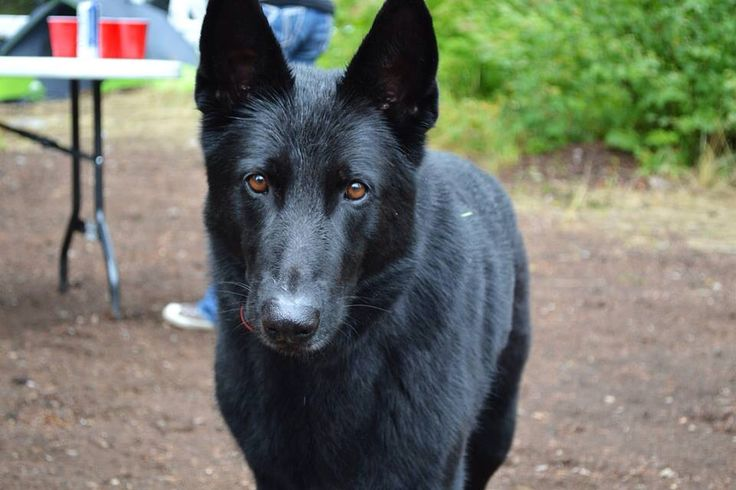 My purebred German Shepherd.