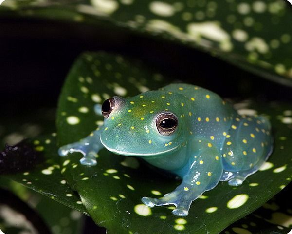 The Slope-snouted Glass Frog (Cochranella euknemos) is a ...
