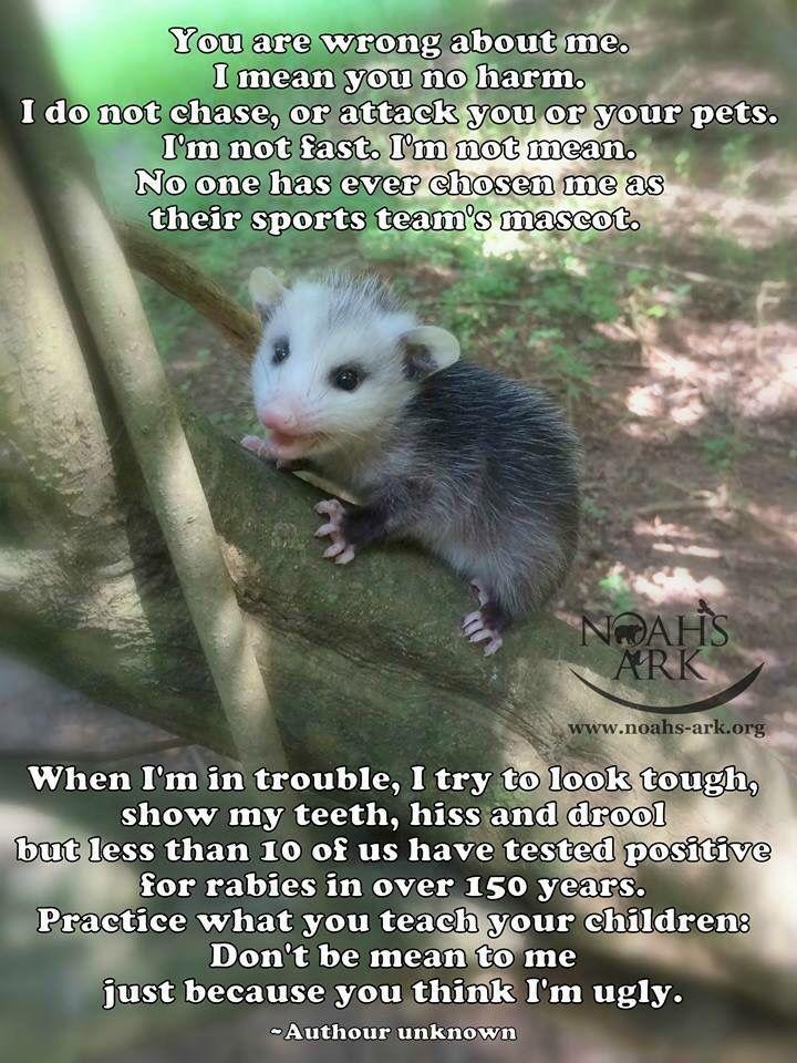 Opossums eat ticks and fleas! Animals, Opossum, Cute animals