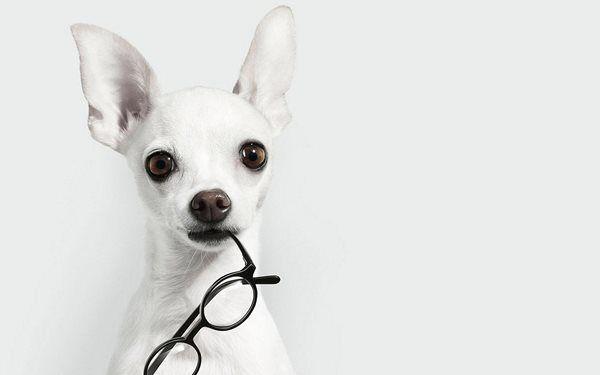 Белый животных собак очки чихуахуа белый фон 4 Размеры Украшения Дома Холст Печати Плакатов