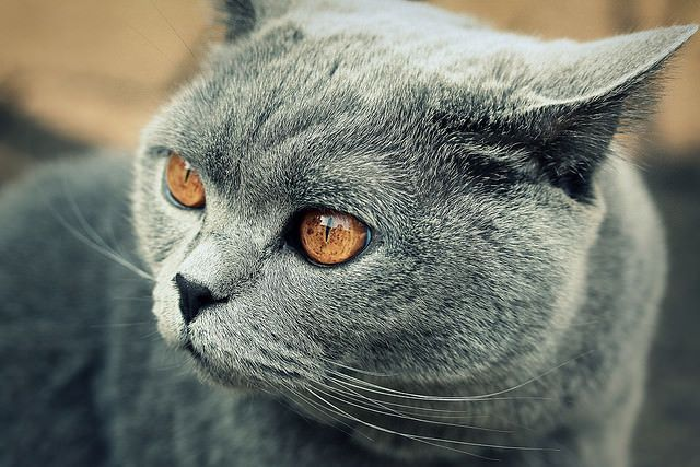 This popular cat breed has been around for centuries, originally known for their mousing abilities when serving as farm cats in England. Other than the obvious heritage, what else do you think you know about the British Shorthair? Take a quick look at our 5 things you didn't know about this popular cat breed that …