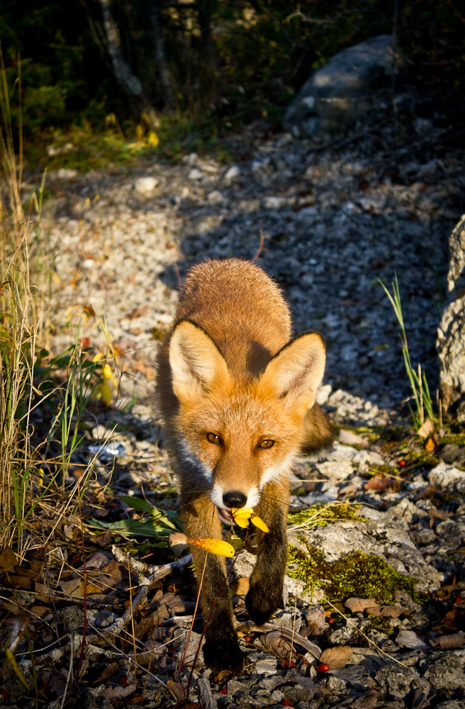 The adventuring fox