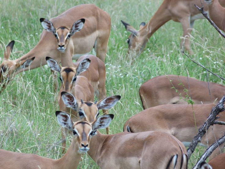 Impalas can be really plentiful
