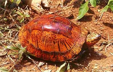 Indochinese Box Turtle, Cuora galbinifrons