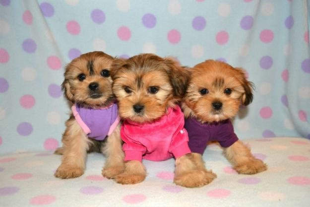 TEACUP, TINY TOY AND TOY SIZES MINIPUPS