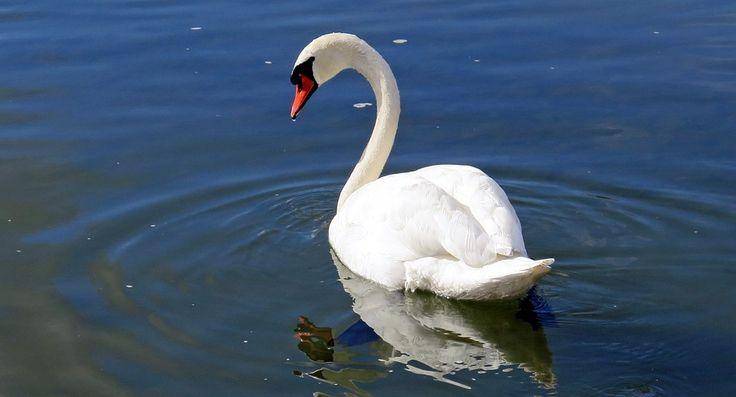 Labuť, Vodní Pták, Voda, Řeka, Švýcarsko, Bílá, Zvíře