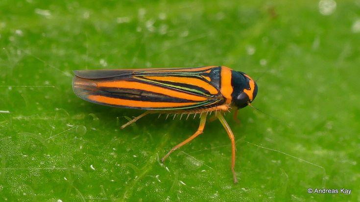Leafhopper, Ramosulus corrugipennis, Cicadellidae