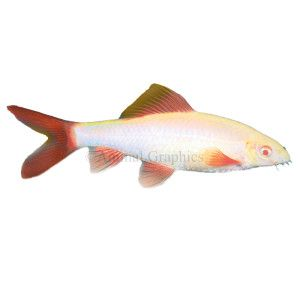 16 best images about my space on pinterest back to live for Rainbow shark fish
