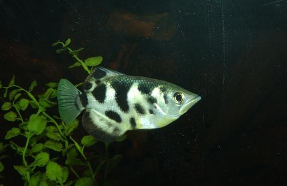 Banded Archerfish Wetter is better! Pinterest