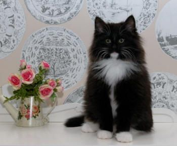 Norwegian Forest Cat Breeders Australia - Norwegian Forest Kittens ...