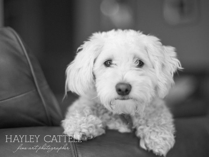 Pet Dog Portraits Photography Hayley Cattell Fine Art Photographer