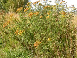 **protéger les frmboises et le jardin** Tanaisie - Tanacetum vulgare