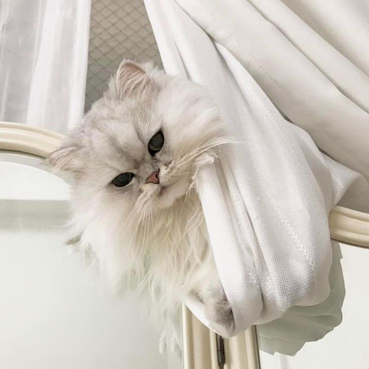 Persian Cats are thought to be existed hundreds of years ago in Middle East however they became prominent in 17th century.They became famous after they were imported to Europe and have been carrying their position as the most famous cat breed over a century.