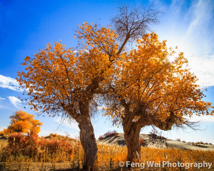 https://flic.kr/p/du2vZC | Life In Barren Land | 新疆-塔克拉玛干沙漠-不死胡杨  Beautiful diversifolious poplar trees, surviving in the arid Taklamakan desert. Shot at southern Xinjiang province of China, during the season of fall.  © All rights reserved. You may not use this photo in website, blog or any other media without my explicit permission.