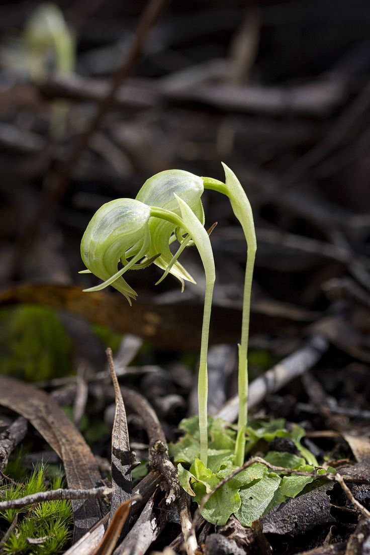 Pterostylis nutans commonly known as Nodding Greenhood, is an orchid species native to Australia. This species has a basal rosette of 3 to 6 leaves and produces a single green, hooded flower on a 30 cm stalk between July and October. The species occurs in large colonies in moist, protected forest environments and is native to the Australian states of South Australia, Tasmania, Victoria, New South Wales and Queensland as well as the ACT